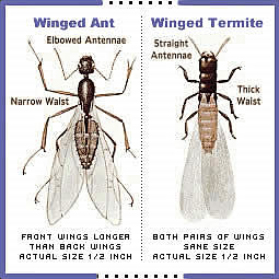 The difference between flying andts and winged termites